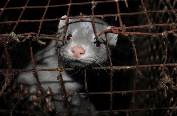 Basta con la mattanza degli animali da pelliccia, arriva il blocco degli allevamenti