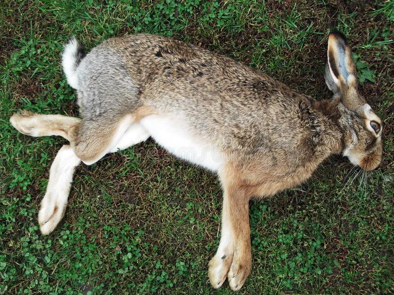 Conigli morti per peste, pericolo per l'uomo, allerta nell'Unione ...