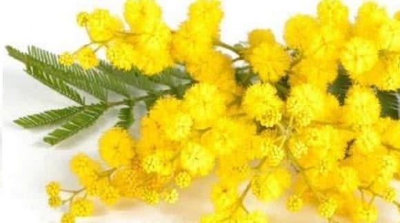 Giornata della donna: perchè si regalano mimose?