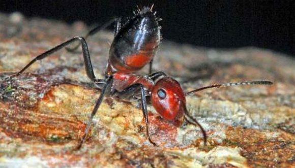 Scoperta formica kamikaze, si lascia esplodere rilasciando liquido tossico e nocivo