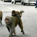 scimmia rapisce un neonato e lo uccide