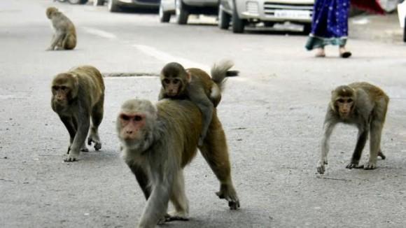Scimmia rapisce e uccide un neonato, una storia incredibile
