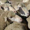 febbre delle pecore
