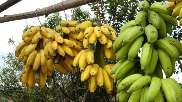 Arriva la crio banana, un frutto che ti permette di mangiarlo anche con la buccia
