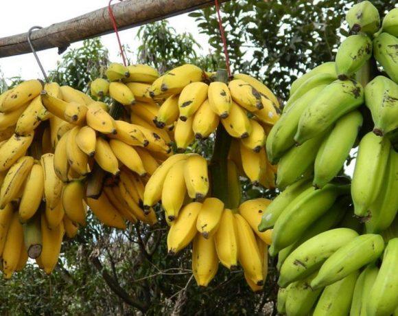 crio banana