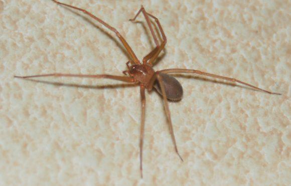 Allarme ragno violino, i posti più a rischio in casa e cosa fare in caso di morso