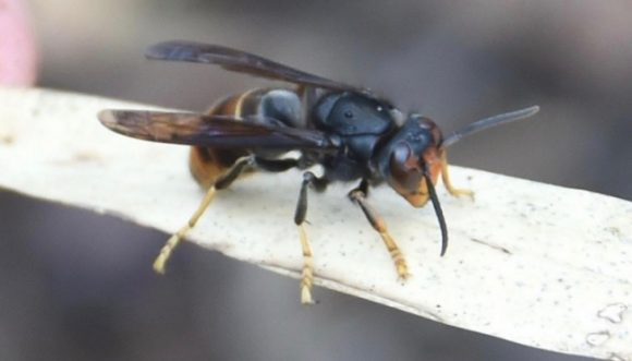 Allarme calabrone, l'estate degli insetti pericolosi: come riconoscerli e come intervenire in caso di puntura