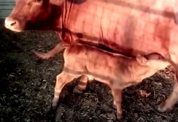 Fine del mondo, è nato il vitello rosso, si avvererà la profezia biblica?