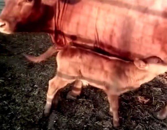 Israele: nasce un vitello rosso