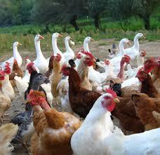 pollame: nuove regole