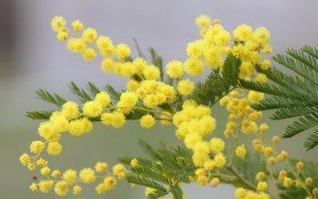 mimosa, festa della donna, fiore, giallo,