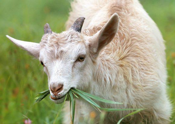 Allarme per le capre infette: diverse persone all'ospedale con la febbre Q