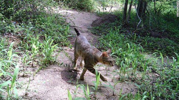 Il mistero dei gatti della foresta del Madagascar