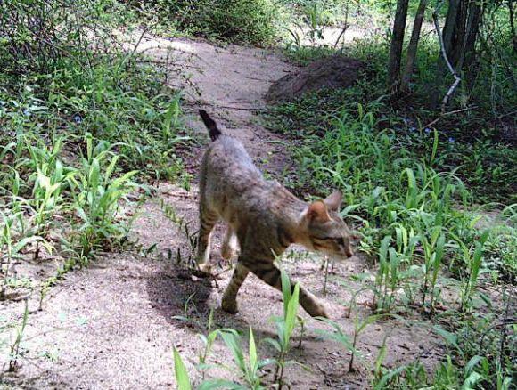 Gatti della foresta