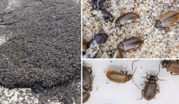 Mistero sulla presenza di milioni di scarafaggi in una spiaggia